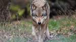 Wölfe vermehren sich weiter: Nun 105 Rudel in Deutschland
