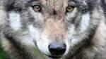 Ein Wolf sorgt für Unruhe