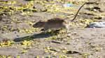 Ratten im Nelson-Mandela-Park