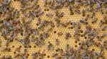 Nachts wird im Bienenstock gekuschelt