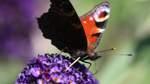 Katastrophenjahr für Schmetterlinge - 19 Arten ausgestorben