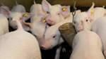 Neues Tierwohl-Label bringt keine Transparenz