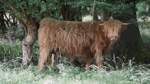ROW_Nachhaltigkeitsserie: Highlandcattle und Schweine Westertimke