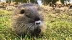 Nutrias und Wildschweine im Visier