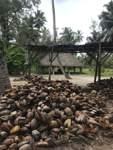 Im Park L'Union Estate auf La Digue werden in einer mechanischen Mühle (im Hintergrund) Kokosnüsse ausgepresst. So entsteht Kokosnussöl.