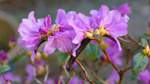 Eine Azalee 'Alpenrose'.