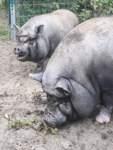 Chanelle und Bacon heißen die beiden Hängebauchschweine, die im Tierasyl ihre Heimat gefunden haben.