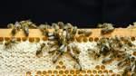 Diebstahl von Bienen ist ein Dauerbrenner