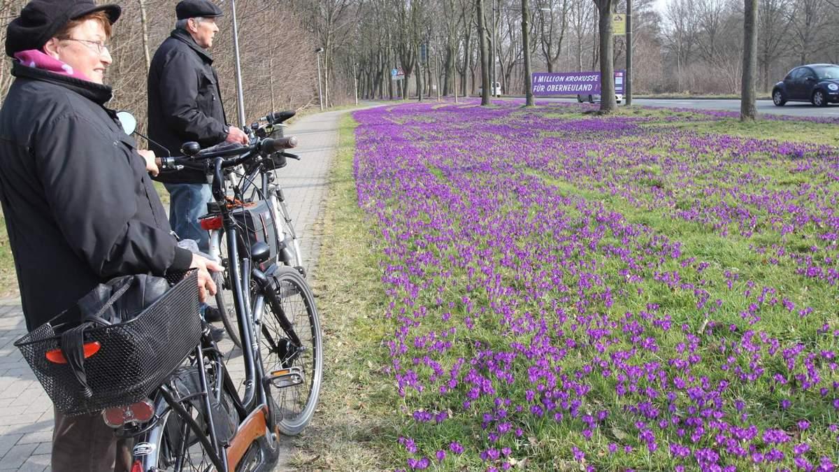 Eine Million Krokusse bilden lila Blütenmeer   WESER KURIER