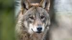 Wolfsberater in Niedersachsen sollen schweigen