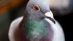 Pilotprojekt gegen Taubendreck