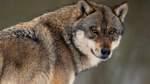 Ein Wolf streift durch Hasbergen