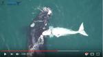 Seltenes weißes Walbaby von Drohne gefilmt