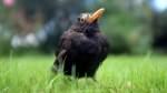Viele tote und erkrankte Vögel in der Region Bremen