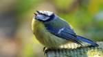 Mysteriöses Blaumeisen-Sterben - tote Vögel auch in Bremen