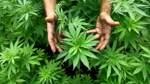 Bremen lockert Grenzwerte für Cannabis