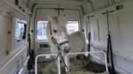 Kuriose Polizeikontrolle: Pony fährt im Kleintransporter mit