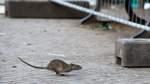 Anwohner sieht Obdachlose als Verursacher der Rattenplage