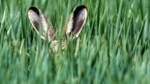 Auf Niedersachsens Feldern und Wiesen tummeln sich mehr Hasen