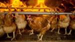 Geflügelhöfe nach Fipronil-Skandal noch immer gesperrt