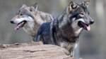 Möglicher Wolfsbiss wird untersucht