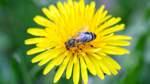 Ein Schlaraffenland für Bienen