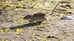 Ratten breiten sich in Bremen immer weiter aus