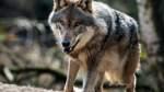 Wolf aus Niedersachsen reißt Schafe und Rotwild im Schwarzwald
