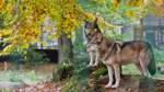 Neue Wolfsverordnung soll Abschuss von Problemtieren erleichtern