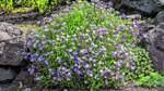 Steingärten mit Gebirgspflanzen