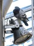 Tauben Problematik in der Innenstadt - Jens Ristedt