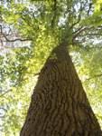"""Die Eiche ragt hoch in den Himmel hinauf und lädt den Waldbader dazu ein, den Baum zu berühren. """"Wer mag, kann sich etwas wünschen, Fragen stellen oder Sorgen loswerden"""", sagt Psychotherapeutin Sigrid Höpken."""