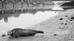Seehund-Besuch vorm Weserwehr
