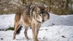 Spuren deuten auf mehrere Wölfe bei Stuhr hin