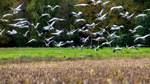 23.000 Kraniche rasten im Diepholzer Moor