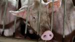 Niedersächsische Schweinehalter in Not