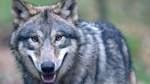 Wölfe machen meistens einen Bogen um Bremen
