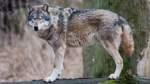 Zum Abschuss freigegeben: Das Schicksal zweier Wölfe im Norden