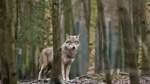 Härtere Zeiten für den Wolf