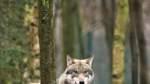 Für ein Nebeneinander von Mensch und Wolf