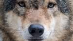 Vor fast 40 Jahren: Wolf beißt siebenjährigen Jungen zu Tode