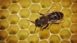 Biene im Bienenstock