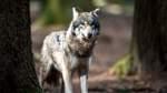 Angeblicher Wolfsriss in Stuhr