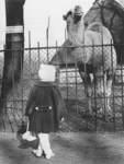1961: Im Tiergehege des Bürgerparks: Dromedar Bobby genießt die Sonne und lässt sich von der kleinen Besucherin bewundern.