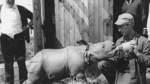 Der indische Großwildjäger George Munro betreibt ab 1966 den Bremer Tierpark auf dem Gelände am Achterdieksee in Oberneuland.