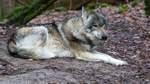 Erster Wolfskadaver im Verdener Nordkreis