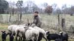 Genügsame Wolllieferanten