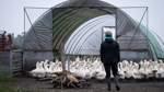 Fünf Fälle von Geflügelpest bei Wildvögeln im Land Bremen nachgewiesen