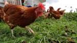 Stallpflicht für Geflügel in Bremen aufgehoben