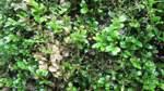 Der Zünsler hält die Gartenwelt in Atem